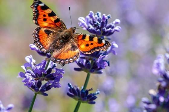 Babočku kopřivovou, stejně jako ostatní motýly, potěšíte i levandulí