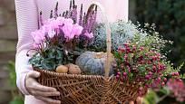 Pro podzimní dekorace: brambořík, vřes, drátovec, libavka a Muehlenbeckia.