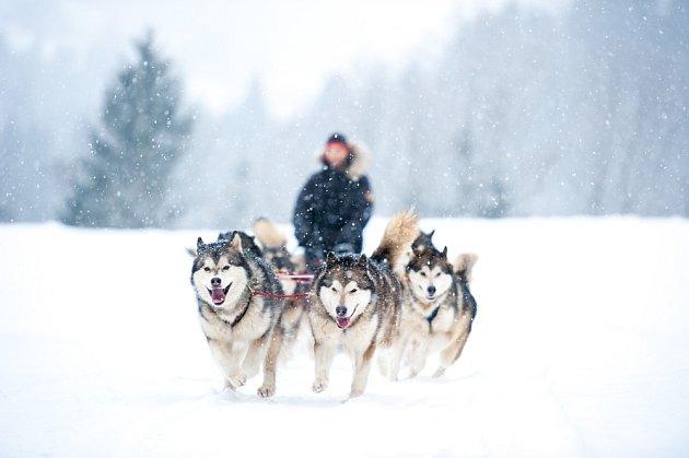 Tažní psi patří k těm nejrychlejším.
