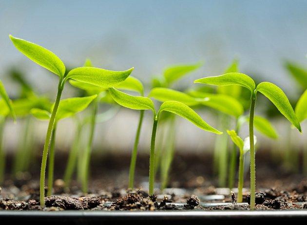 Semenáčky paprik