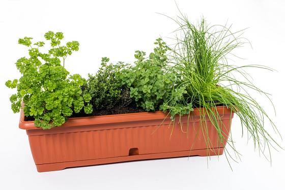 Pažitku můžeme pěstovat i v samozavlažovacím truhlíku.