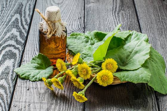 Podběl lékařský patří k tradičním lidovým léčivkám.