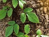 Liány se dovedou přichytit staré rozpraskané borky kmene