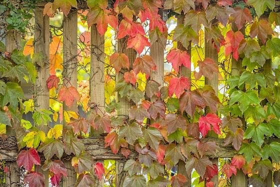 Přísavník třílaločný se na podzim začne vybarvovat dočervena.
