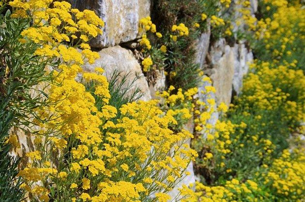 Kvetoucí tařice na suché zídce