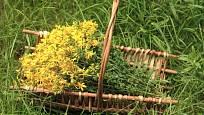 Třezalka tečkovaná (Hypericum perforatum) - nať sklízíme v období květu.