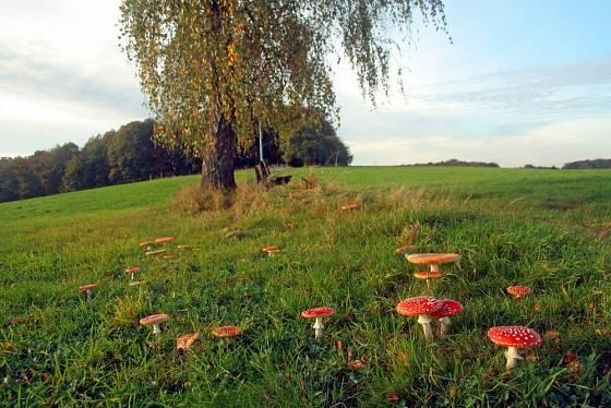Mezi houbami rostoucími v kruhu najdeme i muchomůrku červenou.
