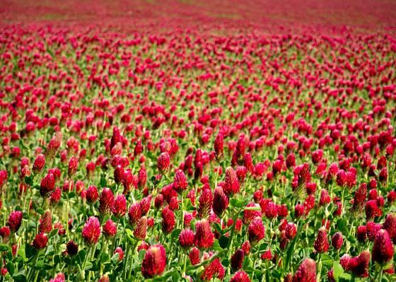 Purpurově kvetoucí jetel