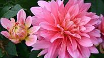 Jiřinky kvetou až do prvních mrazů