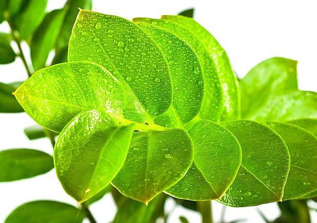 Zamioculcas zamiifolia - zamiokulka