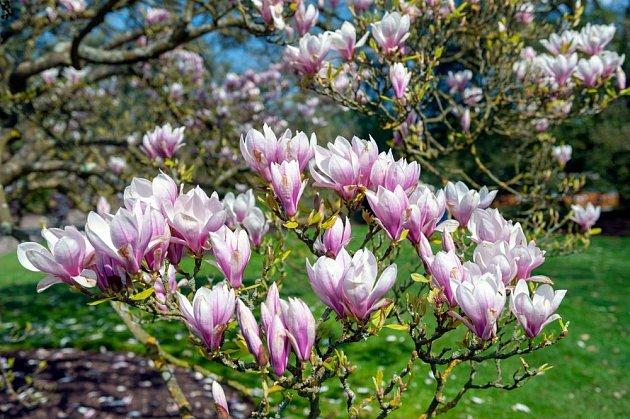 Vzrostlé magnolie jsou klenotem jarní zahrady