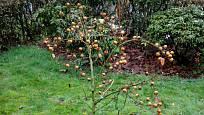 Mišpule sklízíme většinou až když listí opadá