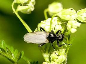 Muchnice - škodlivá moucha