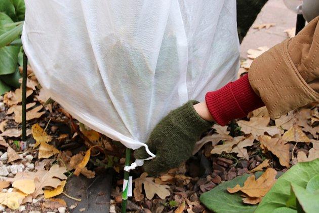 Na zimu keř hortenzií přikryjte netkanou textilií.
