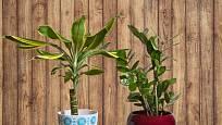 Dračinec (Dracaena fragrans) a kulkas zamiolistý (Zamioculcas zamiifolia) patří k nenáročným pokojovkám.