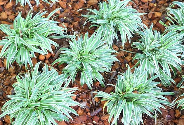 Ophiopogon japonicus - panašovaná varianta