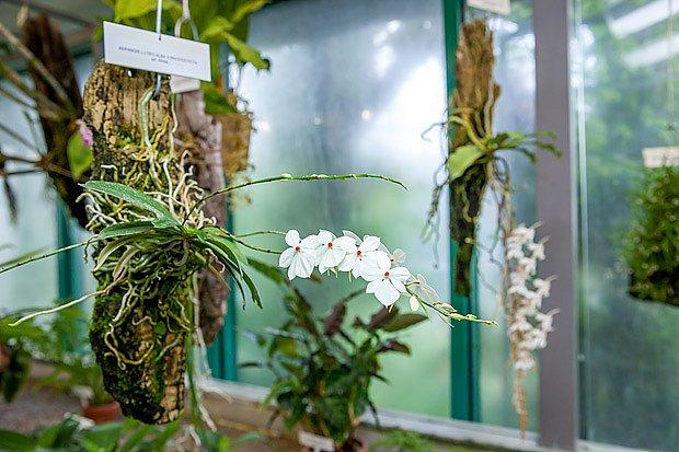 orchidej Aerangis luteoalba