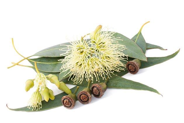Eukalyptus má léčivé účinky