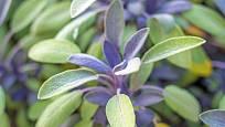 šalvěj lékařská (Salvia officinalis), pestrolistá varieta