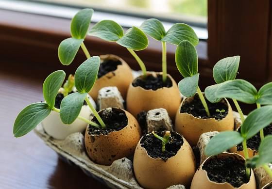 Semenáče okurek ve vaječných skořápkách.