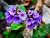 Květy plicníku lékařského