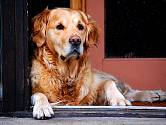 Starý pes