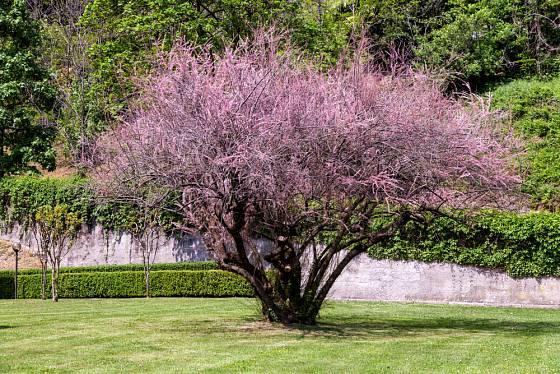 Z tamaryšku si můžete vypěstovat strom, ale také miniaturní bonsaj.