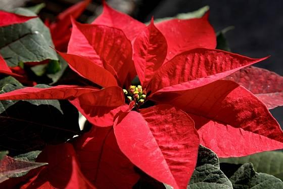 Vánoční hvězda (Poinsettia pulcherrima)