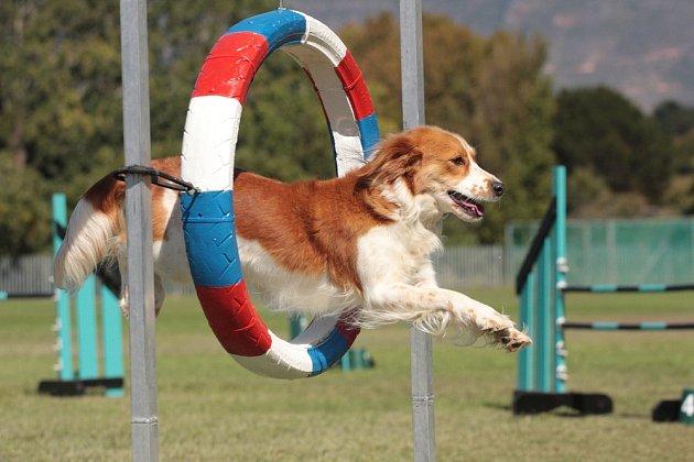 Zdolávání překážek psy baví.