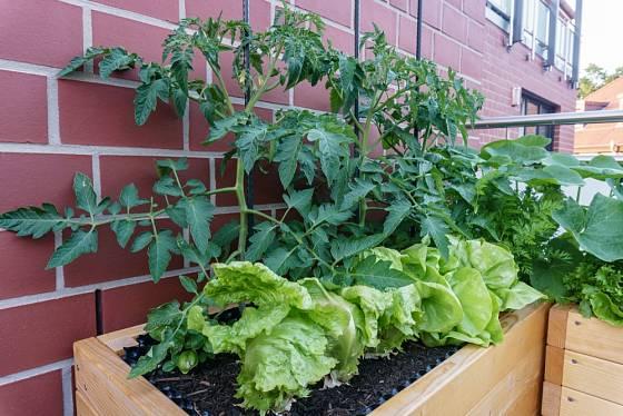 Na balkóně se daří i salátu