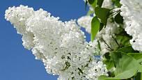 bílá květenství šeříku