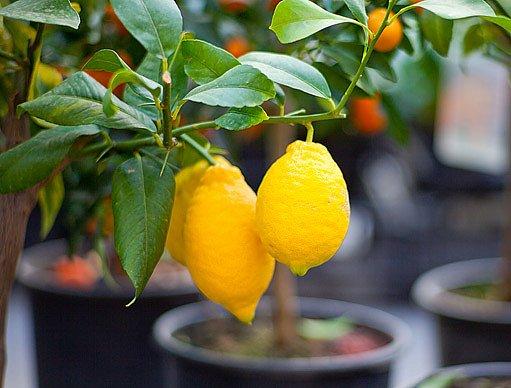 citróník v květináči