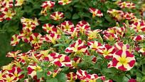 Calibrachoe můžeme pěstovat v řadě okouzlujících odrůd