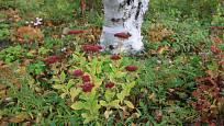 Směs trvalek vhodná pod stromy s názvem Český venkov