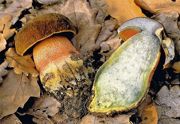 Záměny hub: málo významné, ostudné a nebezpečné