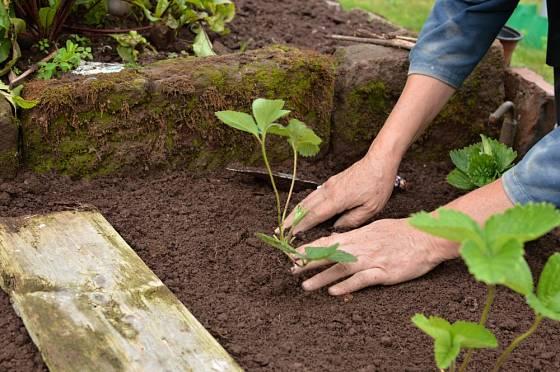 Vzdálenost mezi rostlinami volíme podle odrůdy.