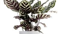 kalátea (Calathea makoyana), pokojovka s dekorativními listy a ušlechtilou siluetou