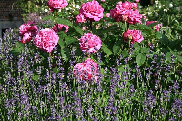 Levandule a růže jsou krásné společnice.
