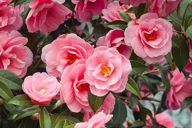 kamélie japonská (Camellia japonica)