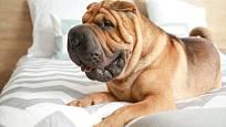 Šarpejové jsou typičtí městští psi, milují své pohodlí a životní stereotyp.