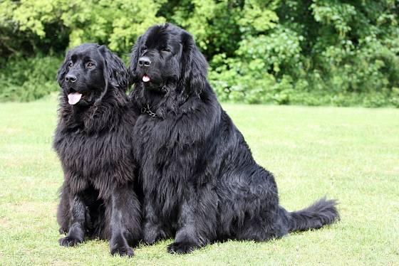 Novofundlandští psi jsou velké psí chůvy i spolehliví záchranáři.
