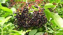 Zralé bezinky - plody bezu černého.