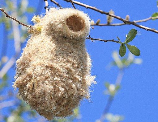 hnízdo moudivláčka lužního