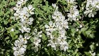 Hroznovec (Exochorda), odrůda The Bride, upoutá množstvím bílých květů.