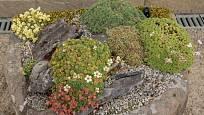 K osázení kamenného koryta můžeme využít např. lomikameny.