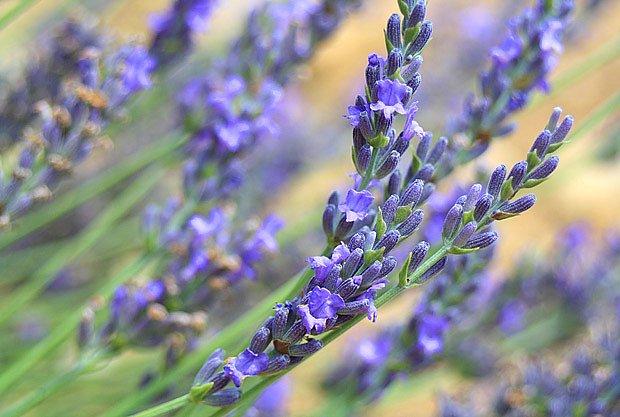 Včelí pastva v Provence