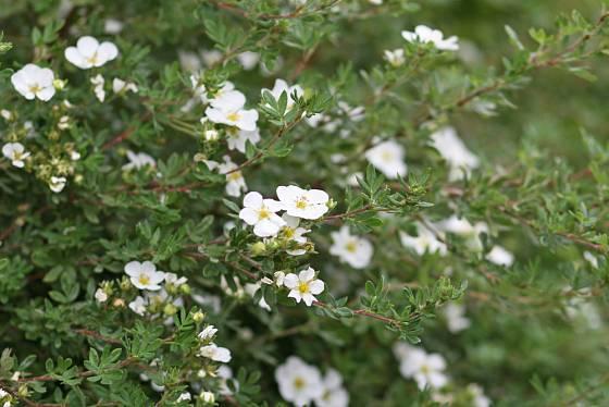 mochna křovitá (Potentilla fruticosa)