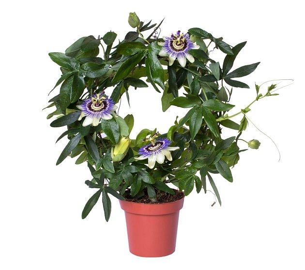 Kvetoucí mučenka pěstovaná na drátěné kulaté konstrukci.