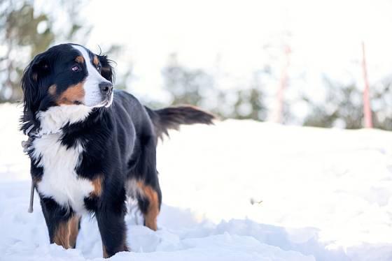 Bernští salašničtí psi zimu a sníh milují.