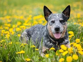 Australský honácký pes